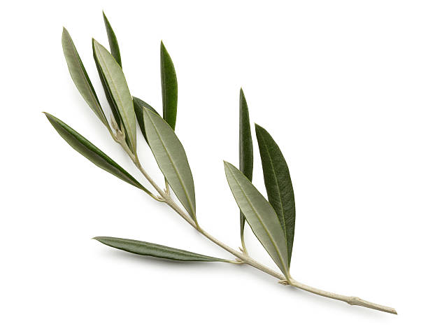 Olive Branch Isolated On White Background An olive branch on a white background.  Clipping path included. olives stock pictures, royalty-free photos & images