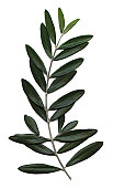 istock olive branch, Olea europaea 115999022