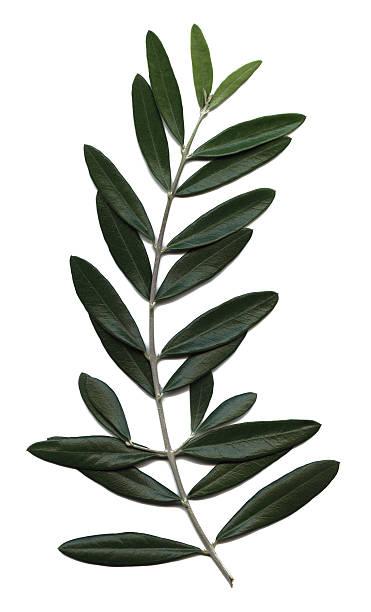 ramoscello d'ulivo, olea europaea - ramoscello d'ulivo foto e immagini stock