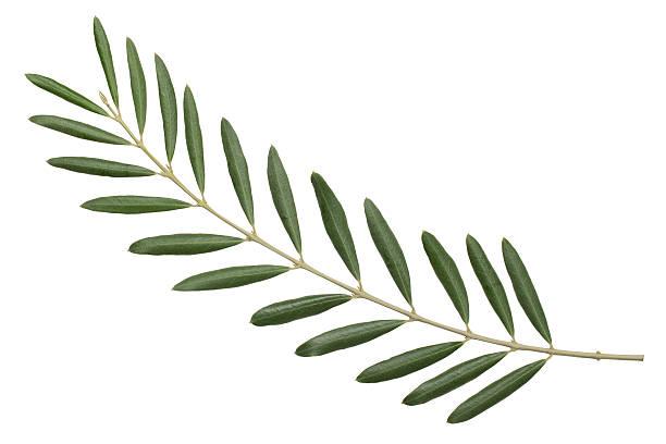 verde oliva branch. simbolo della pace - ramoscello d'ulivo foto e immagini stock
