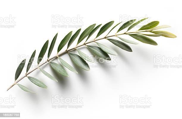 Olive branch peace symbol picture id185067755?b=1&k=6&m=185067755&s=612x612&h=yz0zbyjjokk6mwz 0w rg0zby8cutdlhpozvuwg8zc8=