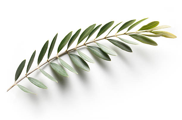 Olive branch. Peace Symbol. Olive branch. Peace Symbol.Similar photographs from my portfolio: olives stock pictures, royalty-free photos & images