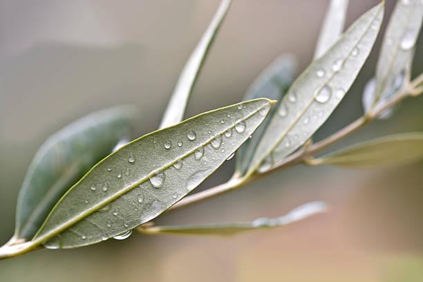 ramoscello d'ulivo - ramoscello d'ulivo foto e immagini stock