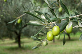 istock Olive Branch 186600355