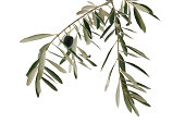 istock Olive branch 503700893