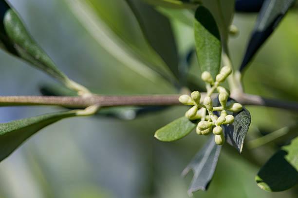 Olive Branch – Foto