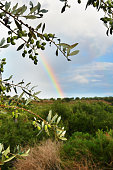 Olive branches after rain nd rainbow at background at agriculture fields, beautiful colors in the cloudy sky. Peloponnese, Messenia, Greece