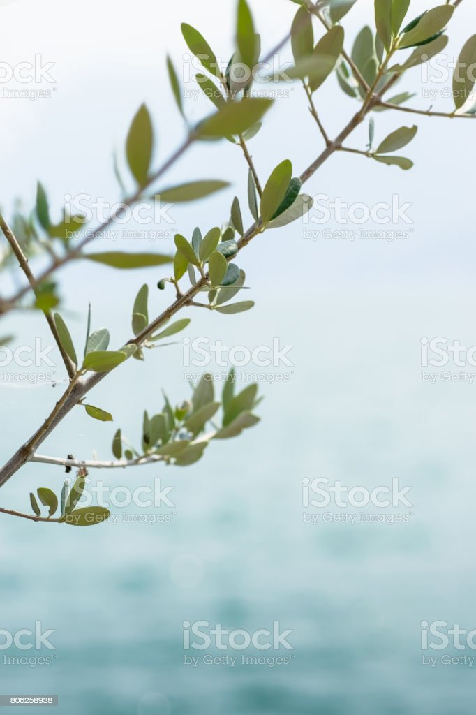 Olive branches on a background of blue lake is out of focus stock photo
