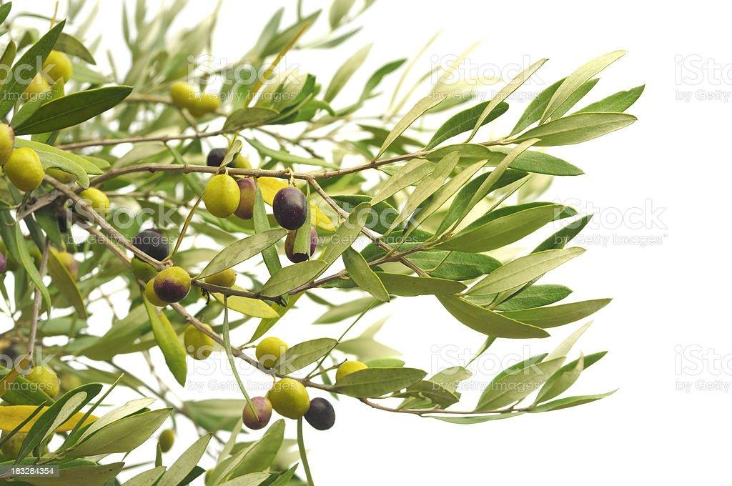 branches d'Olive et olives - Photo