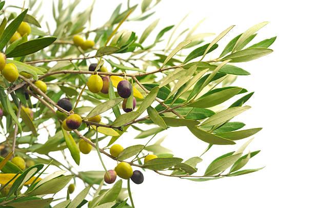 Olive Zweige mit Oliven – Foto