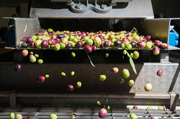 Olive cleaning The process of olive cleaning and defoliation in a modern oil mill olive fruit stock pictures, royalty-free photos & images