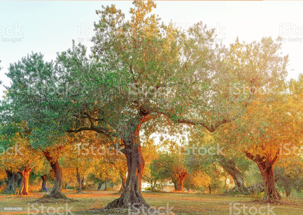 Olive field in the setting sun. Olive Tree. stock photo