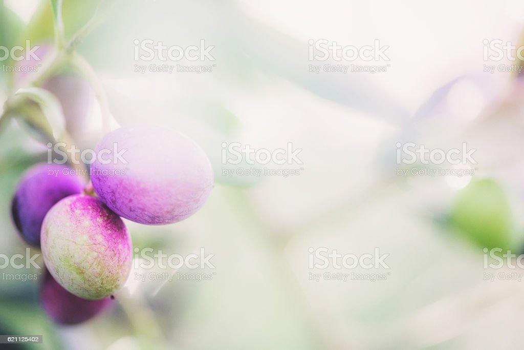 olive fruit stock photo