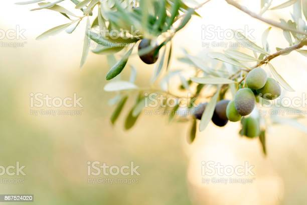 Olive fruit picture id867524020?b=1&k=6&m=867524020&s=612x612&h=kiflmy3thcpdoyp9fyhmd2s2f4quj4nw6i zkzfc0ik=
