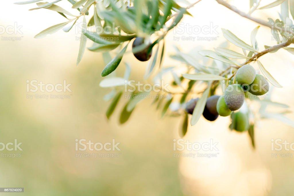 Frutas de oliva  - foto de acervo