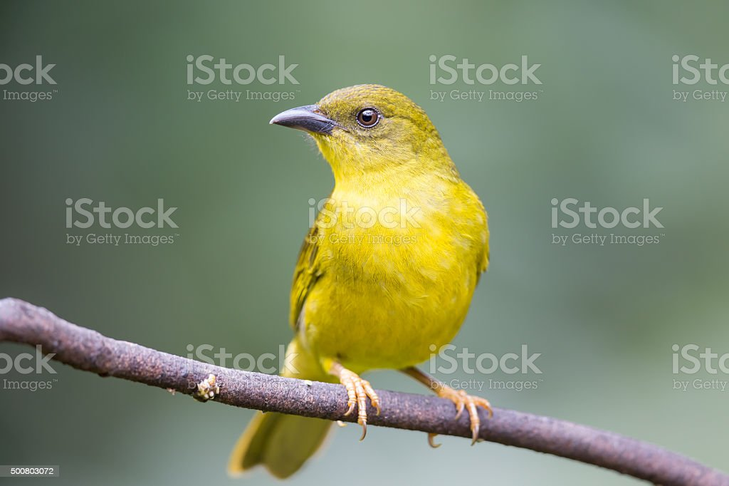 Olive green Tanager perched on branch stock photo