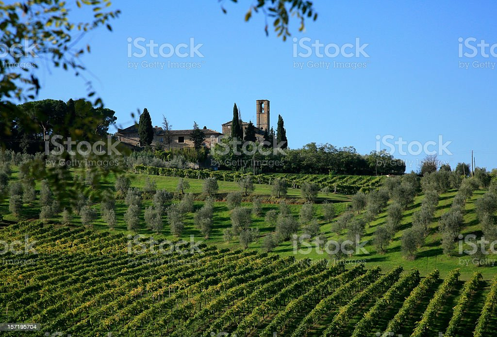 Olive Grove and Grapevines in Tuscany Italy royalty-free stock photo