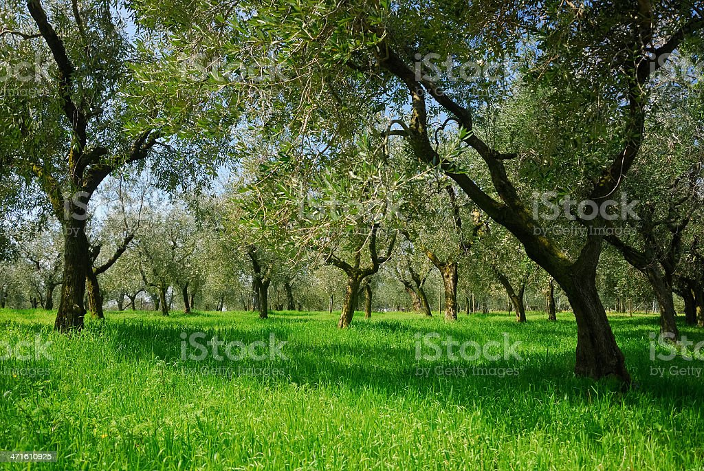 Olive grove and meadow at lake garda royalty-free stock photo
