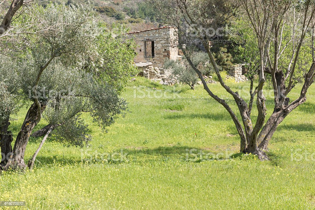 Olive grove and ruins of abandoned houses stock photo