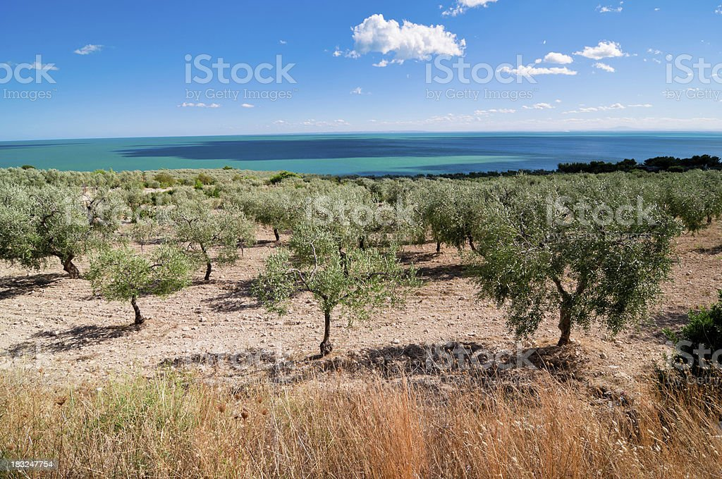 Olive grove by the sea stock photo