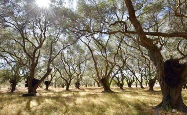 Olive Grove Corfu stock photo