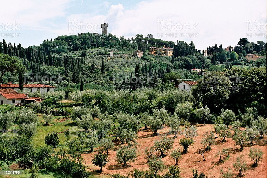 Olive Grove royalty-free stock photo