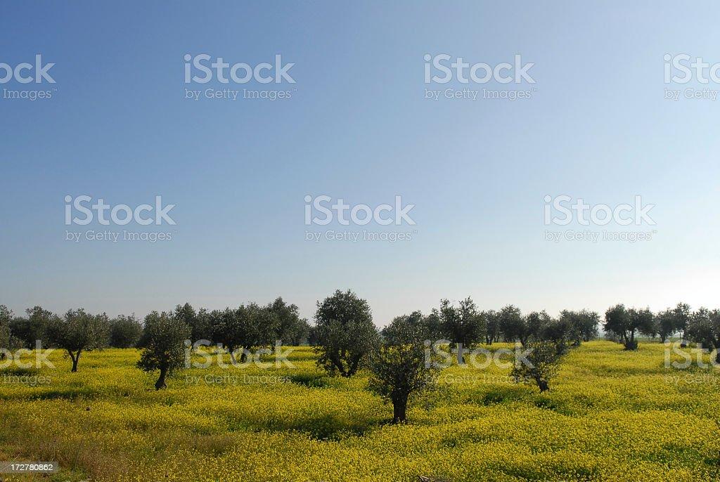 Olive grove stok fotoğrafı