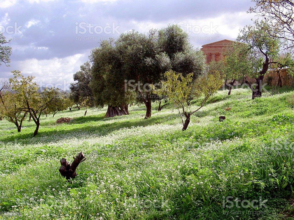 Olivenhain Lizenzfreies stock-foto