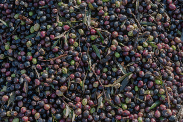 Olive harvest in Morocco for organic olive oil production. stock photo