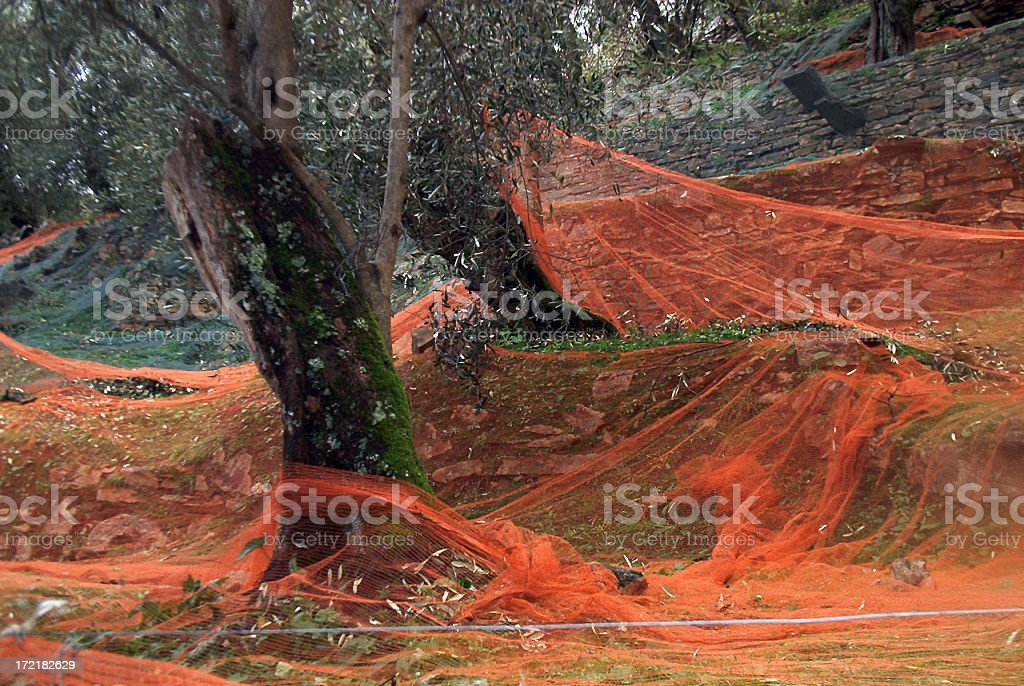 Olive Harvest royalty-free stock photo