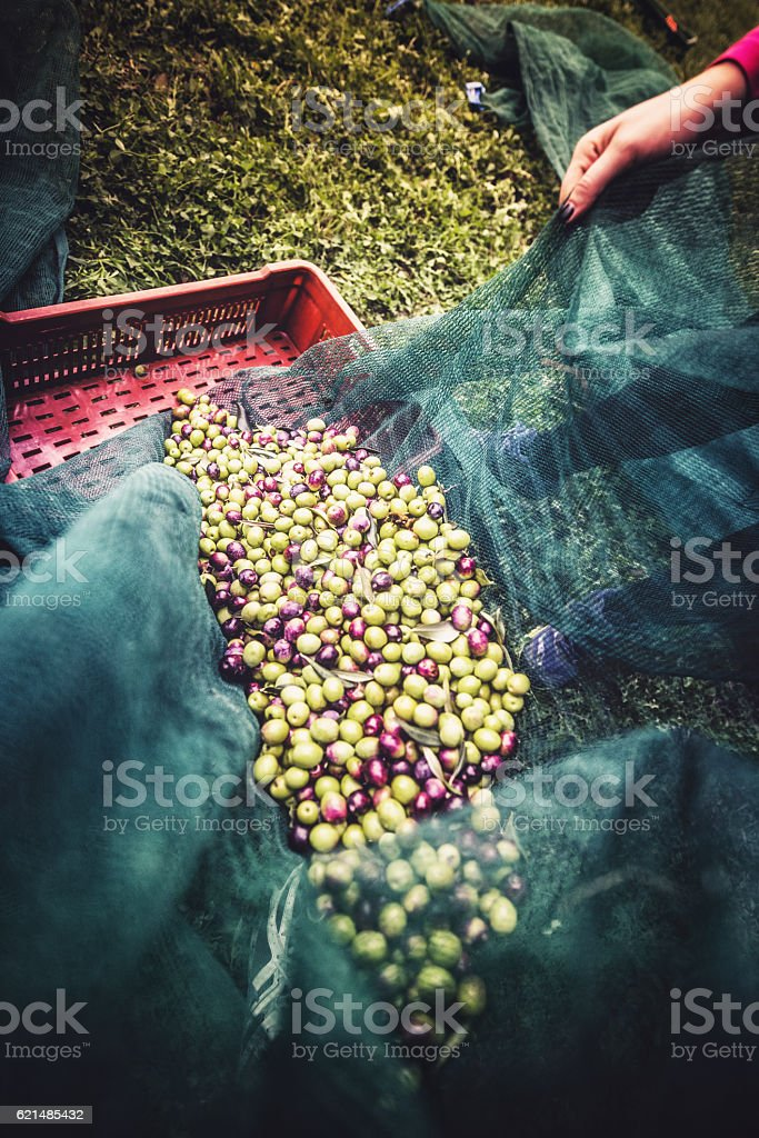 Verde oliva Harvest foto stock royalty-free
