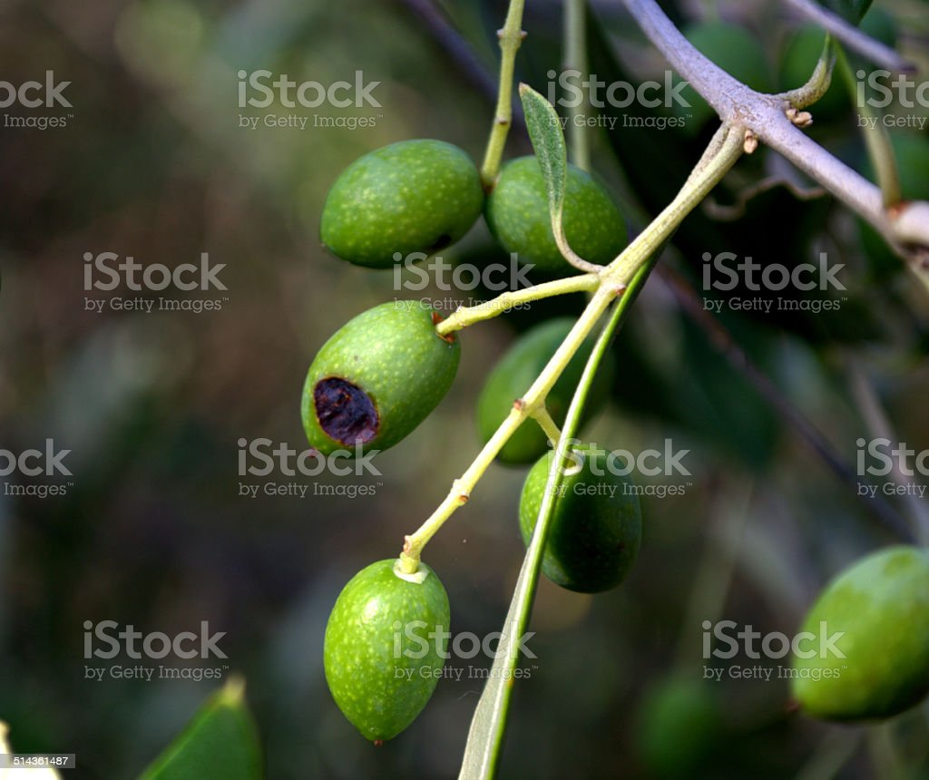 Olive, Lebbra delle olive, (Gleosporium olivarum) stock photo