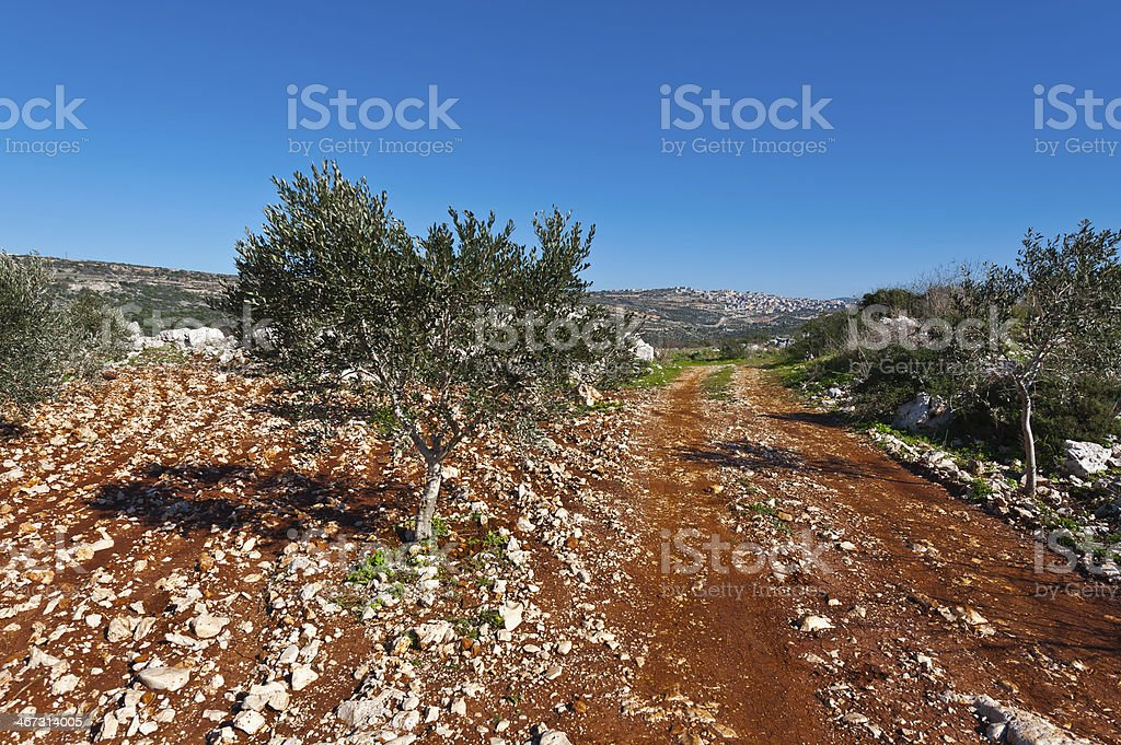 Olive of Galilee royalty-free stock photo