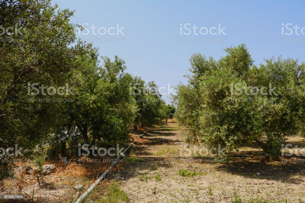 Olive orchard with irrigation royalty-free stock photo