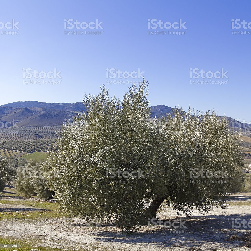 Olive orchards royalty-free stock photo