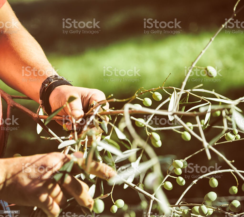 olive picker picking olives from a branch stock photo