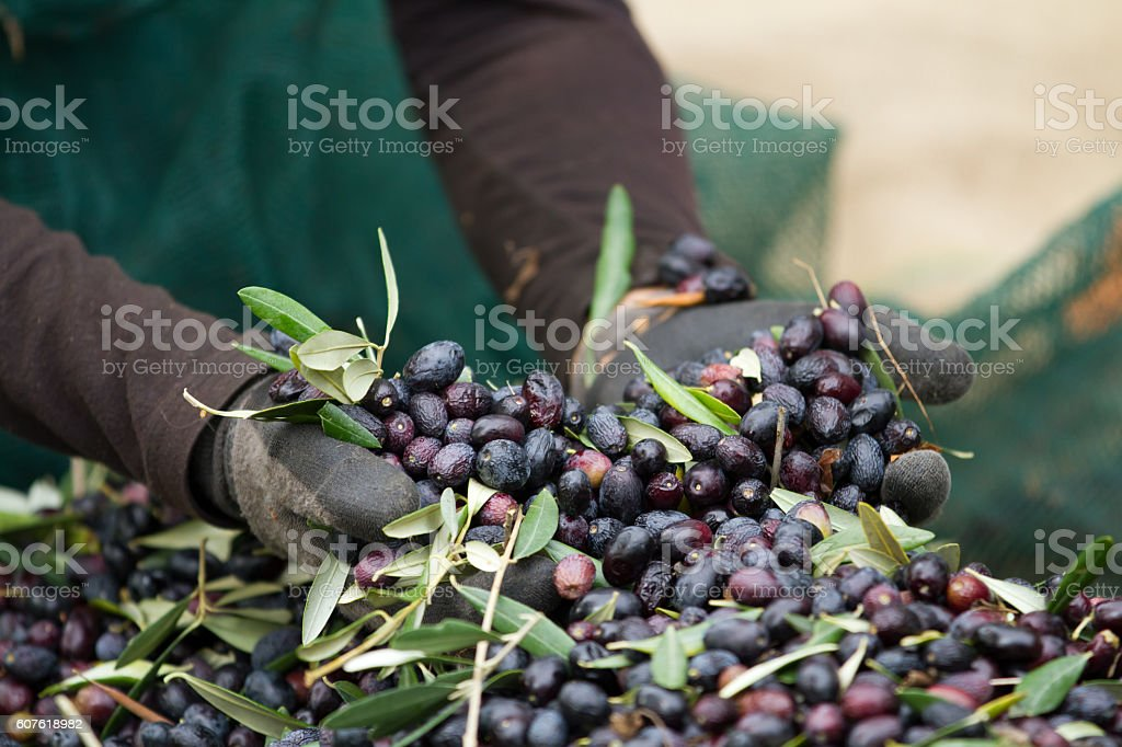 olive picking during the harvesting season stock photo