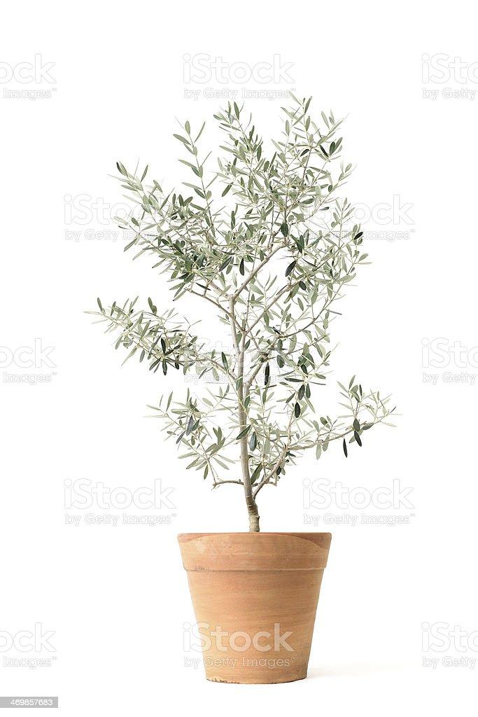 olive - Photo