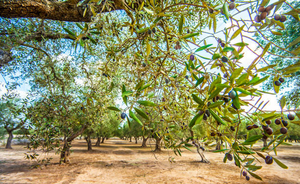 Olive plantation at Torre Sant Andrea Puglia Italy stock photo