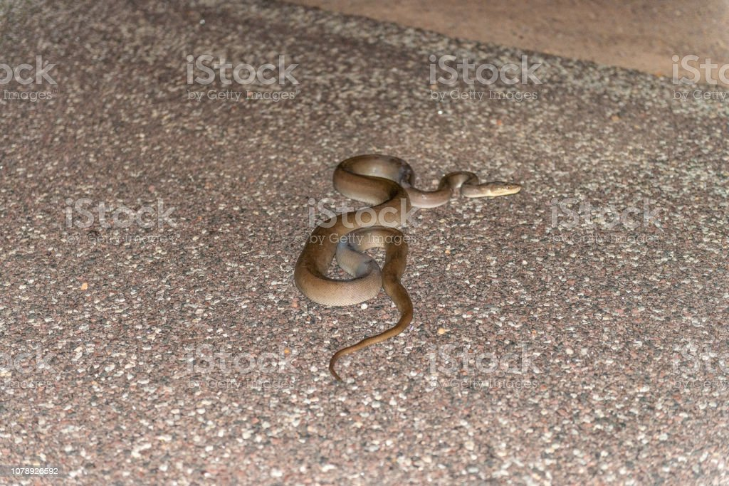 Olive python on the road stock photo