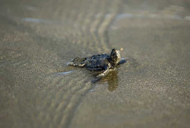 Olive Ridley Turtle Hatchling on back, Nicaragua stock photo