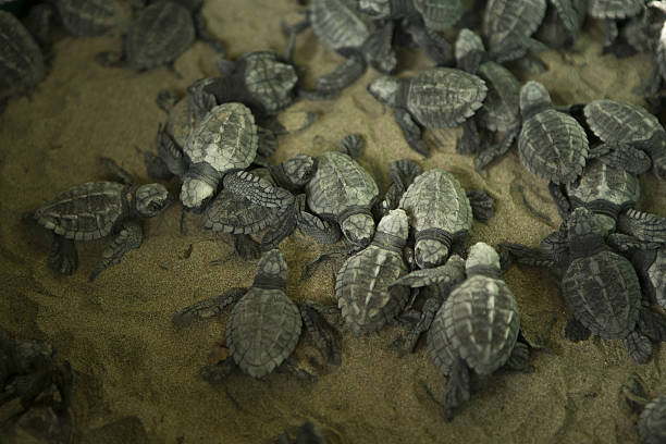 Olive Ridley Turtle Hatchlings, Nicaragua stock photo