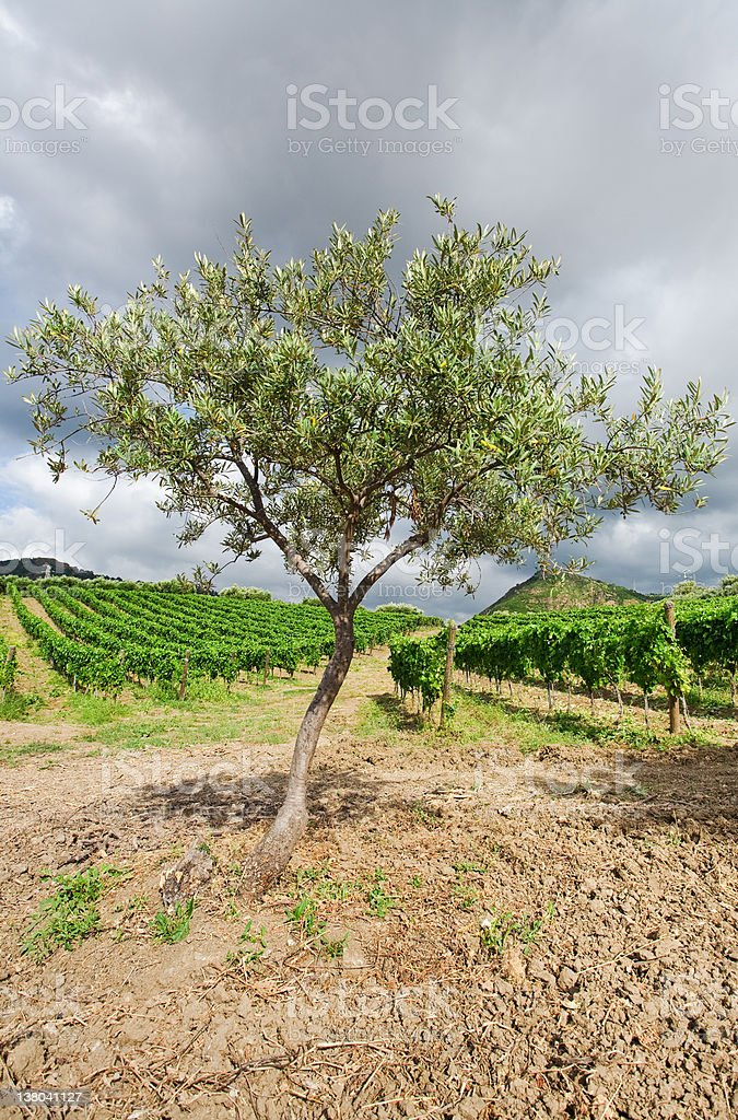olive tree and vineyard in Etna region, Sicily royalty-free stock photo
