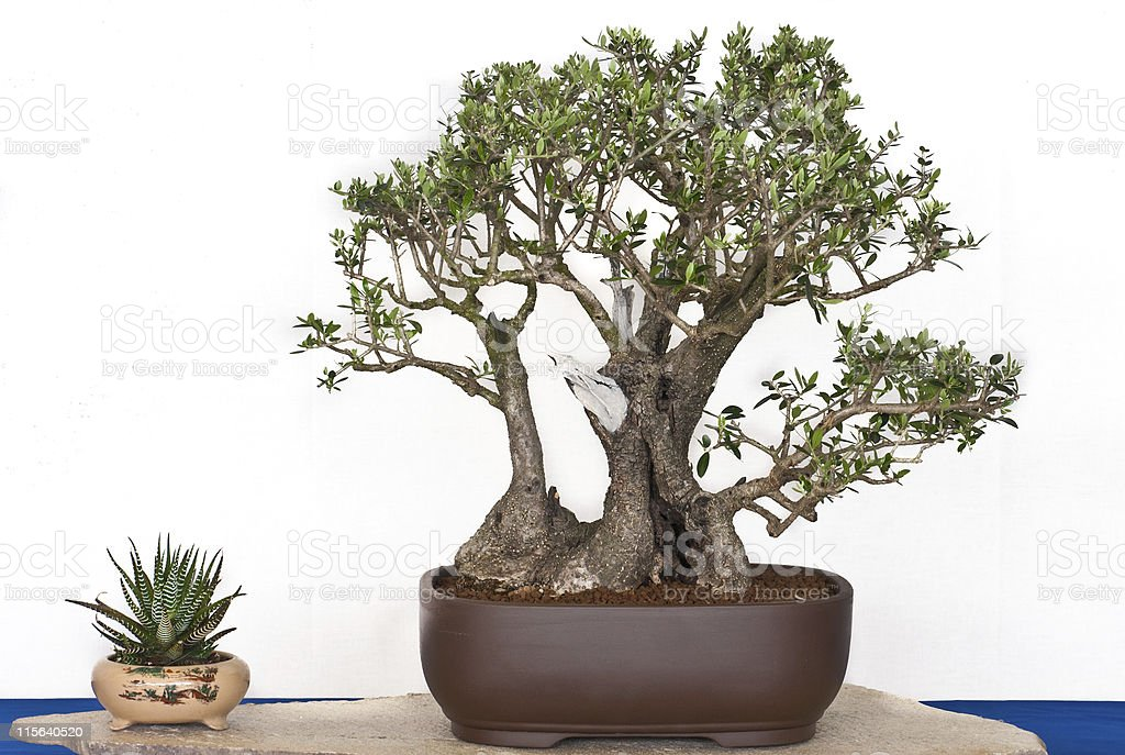 Olive Tree As Bonsai Stock Photo Download Image Now Istock