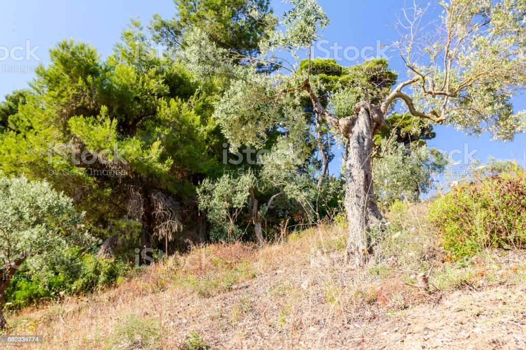 Olive tree at hilly landscape stock photo