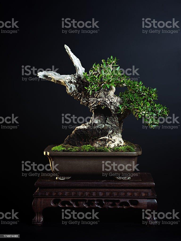 Olive Tree Bonsai Stock Photo Download Image Now Istock