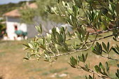 Olive tree branch in. the nature with small cottage in background