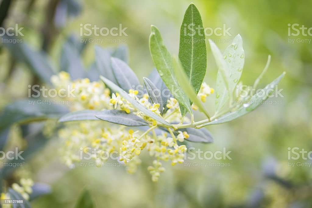 Olive Tree Branch royalty-free stock photo
