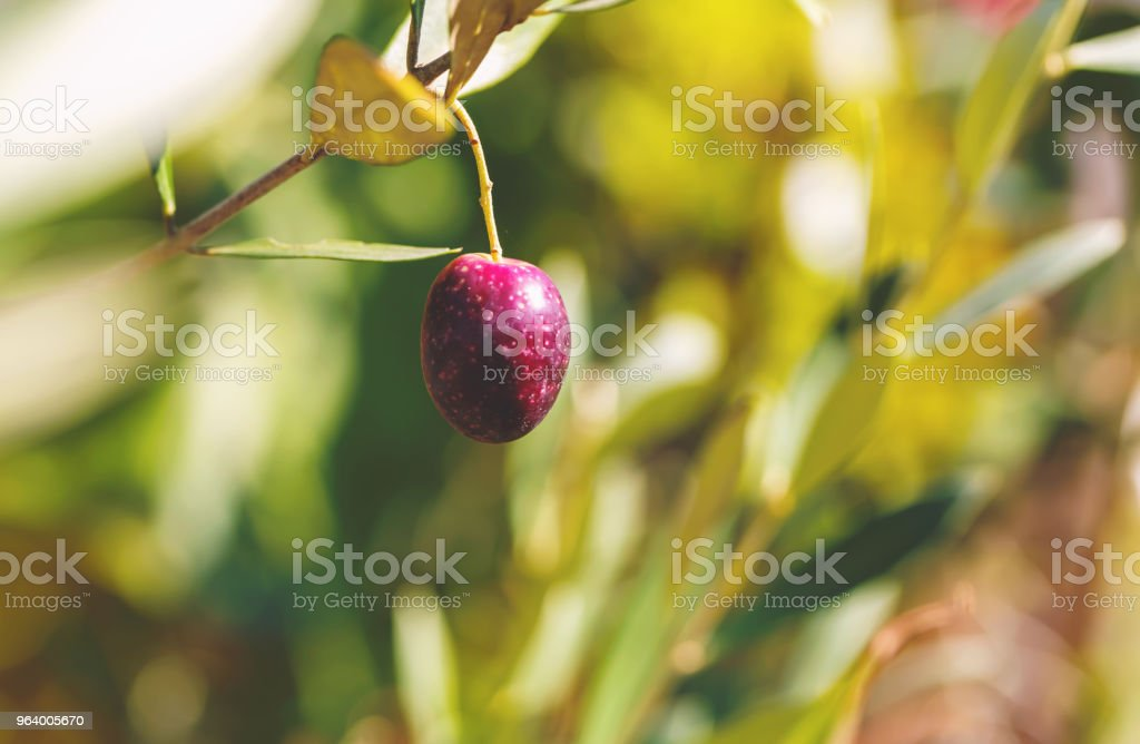 Olive tree branch with an olive - Royalty-free Agriculture Stock Photo