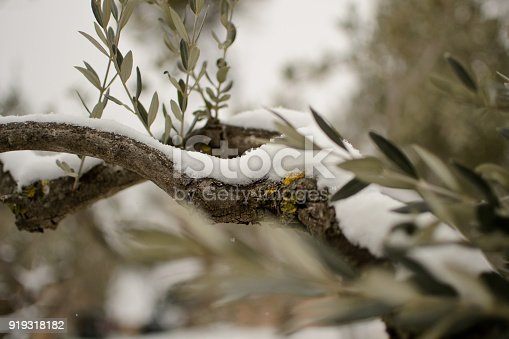istock Olive tree branch with snow. 919318182